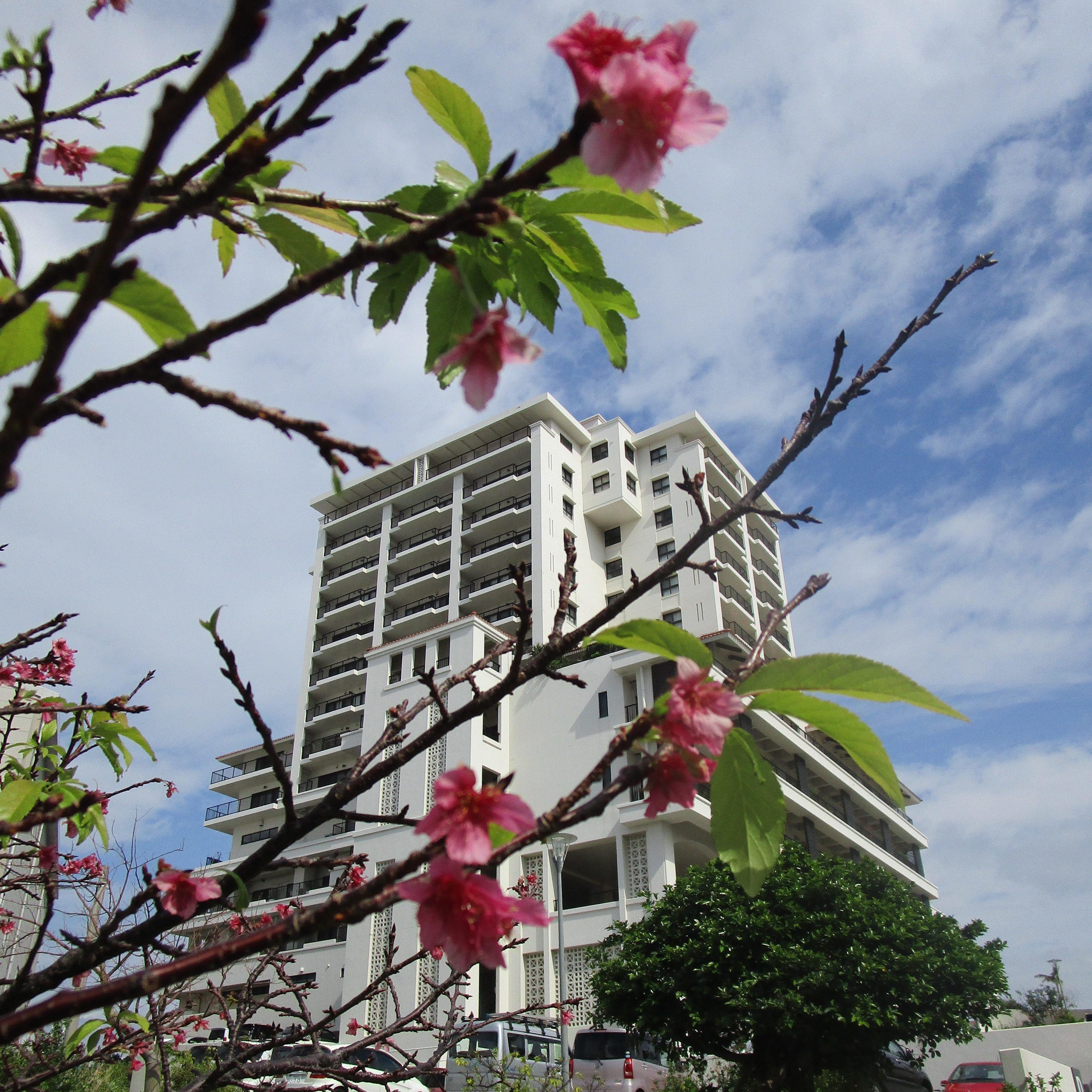 桜開花?!